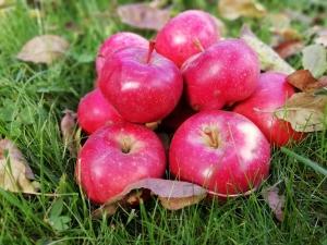 Осенние яблочки