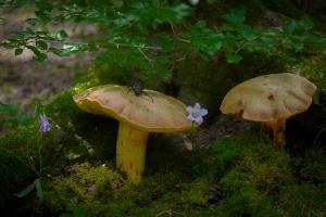 Горные грибы