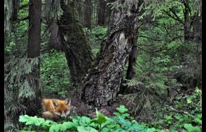В диком лесу