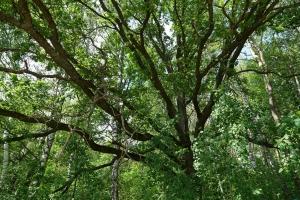 Лесной Исполин