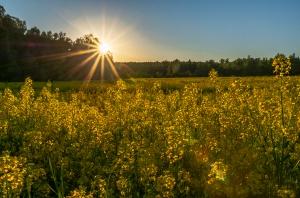 Закат в рапсовом поле