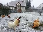 Эльзасские курочки готовятся к новогоднему банкету